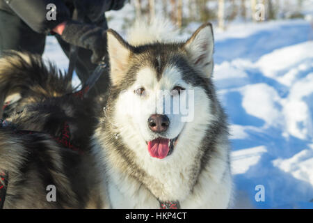 Portrait of a husky in harness racing on  white background - Stock Photo
