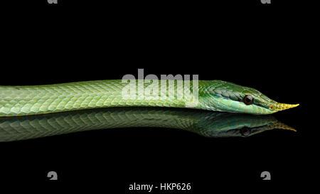 Green long nosed snake, Rhinoceros Ratsnake