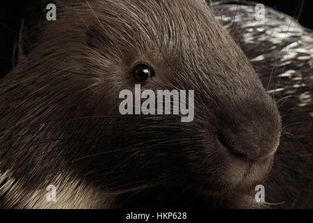 Porcupine isolated on black background - Stock Photo