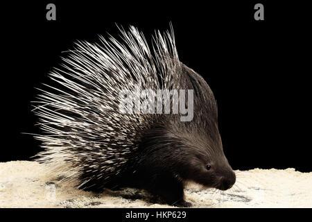 Porcupine isolated on black background - Stock Photo