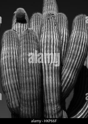 Saruaro cactus in black and white taken in Joshua Tree, California USA - Stock Photo