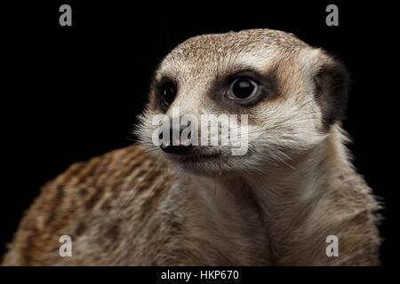 Meerkat isolated on black background - Stock Photo