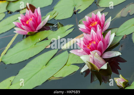 Pink water lilies as a background, closeup - Stock Photo