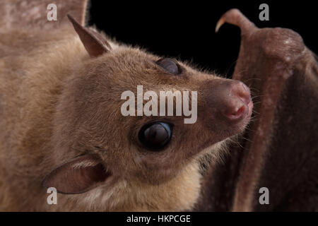 Egyptian fruit bat or rousette, black background - Stock Photo