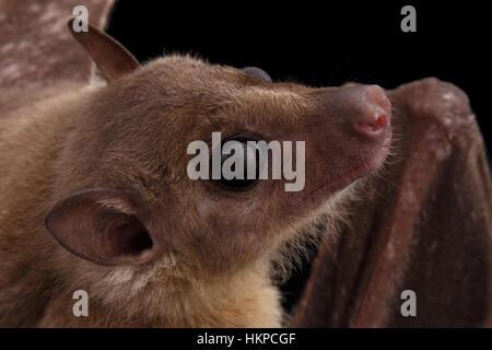 Egyptian fruit bat or rousette, black background - Stock Photo