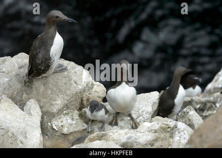 Common Guillemot (Uria aalge) adult mother with chick on coastal cliff at colony, Great Saltee, Saltee Islands, - Stock Photo