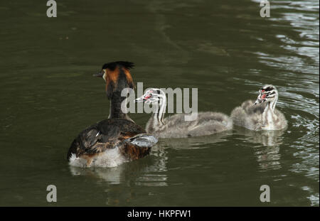 A stunning adult Great crested Grebe (Podiceps cristatus)  swimming on a river with two of its cute babies. - Stock Photo
