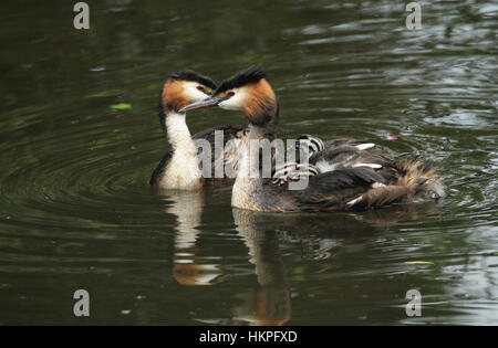 Two stunning adult Great crested Grebe (Podiceps cristatus) one with their cute babies riding on its back swimming - Stock Photo