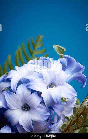 A close up of a beautiful indigo and white branch of hyacinth flowers. The flowers are shown in front of a dark - Stock Photo