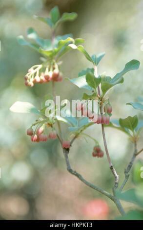Enkianthus serrulatus, Enkianthus campanulatus - Stock Photo