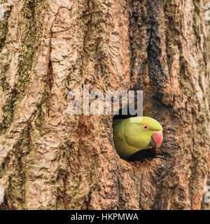 Ring Necked Parakeet , Rose-ringed parakeet (Psittacula krameri) looking out of a Nest Hole in a Tree. Richmond - Stock Photo