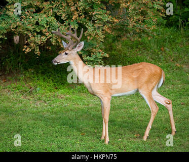 Eight point whitetail buck with antlers in velvet next to a forest - Stock Photo