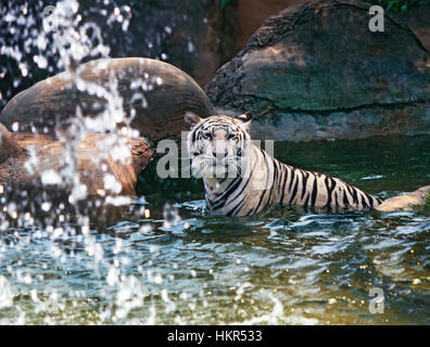 A young, light colored Asian tiger, (Panthera tigris), this one a Malayan tiger, cooling off in a rain forest pool, - Stock Photo