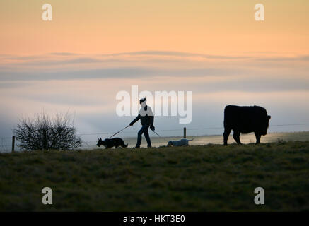 cattle on the South Downs near Devil's Dyke, East Sussex - Stock Photo