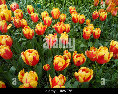 Bunch of vibrant yellow and red blooming Tulips with green leaves in the gentle light rain - Stock Photo