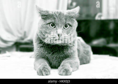 Adult unhappy cat in black and white - Stock Photo