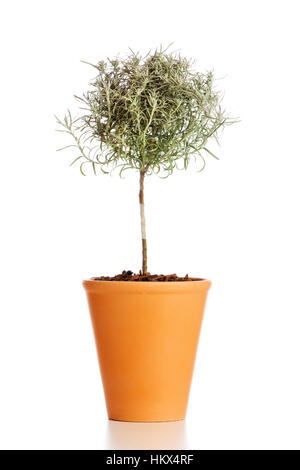Tree shaped Curry plant in flower pot isolated on white background - Stock Photo