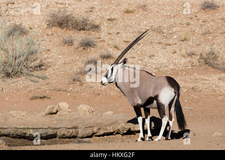 common Gemsbok, Oryx gazelle in Kalahari desert, Kgalagadi transfontier park, South Africa, safari wildlife and - Stock Photo