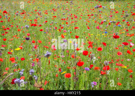 Summer wildflower meadow in Dorset, England, with poppies, cornflowers and other wild flowers - Stock Photo
