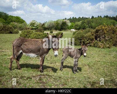 Female Donkey with young foal in the New Forest in Hampshire in early summer - Stock Photo