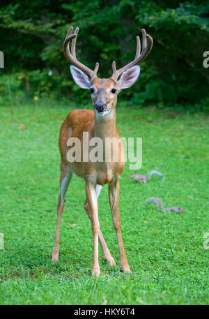 Eight point whitetail buck on the grass with antlers in velvet - Stock Photo
