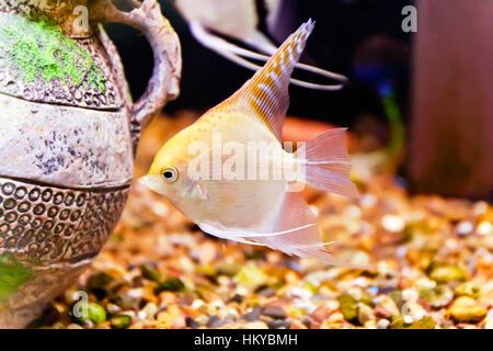 Photo of tropical freshwater aquarium with scalare - Stock Photo