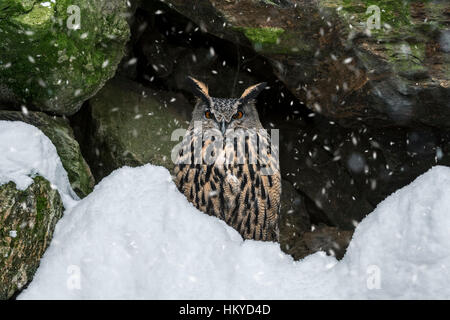 Eurasian eagle owl (Bubo bubo) sitting on rock ledge in cliff face during snow shower in winter - Stock Photo