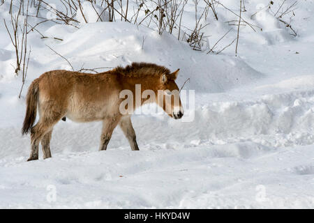 Przewalski horse (Equus ferus przewalskii) native to the steppes of Mongolia, central Asia in the snow in winter - Stock Photo