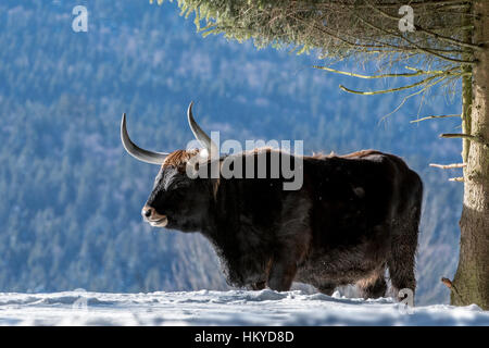 Heck cattle (Bos domesticus) bull under tree in the snow in winter. Attempt to breed back the extinct aurochs (Bos - Stock Photo