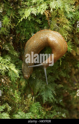Great Red Slug (Arion ater) - Stock Photo