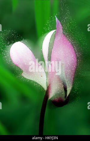 Digitally enhanced image blooming violets - Cyclamen persicum - Stock Photo