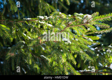 Sunlit spruce tree. Snow covered sunlit fresh green spruce tree branches and needles. Cheerful winter and Christmas - Stock Photo