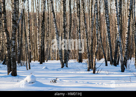 Birch grove on a sunny winter day. Fresh white snow and long blue shadows and brown trees in the background. Winter - Stock Photo