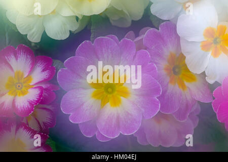 Polyanthus photographed using multi exposures - Stock Photo