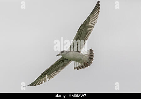 Young yellow-legged gull, Larus michahellis, in flight. - Stock Photo