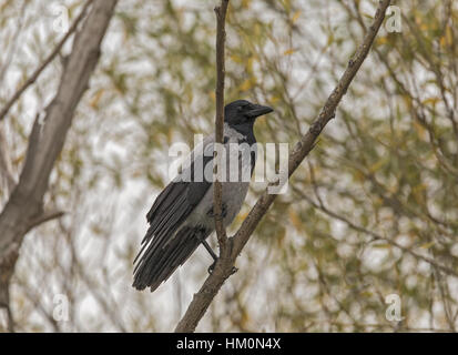 Hooded crow, Corvus cornix, perched on branch. - Stock Photo