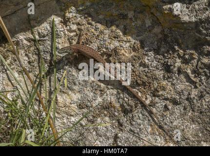 A Dalmatian algyroides, Algyroides nigropunctatus basking on rock in autumn, Vikos Gorge, Greece. - Stock Photo