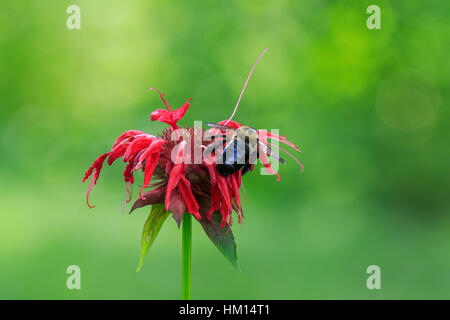 Eastern carpenter bee (Xylocopa virginica) on bee balm (Monarda didyma) - Stock Photo