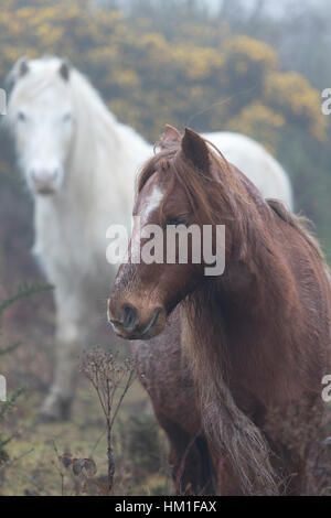 Flintshire, Wales, UK. 31st Jan, 2017. Wild Carneddau Mountain Ponies accustomed to the damp foggy conditions in - Stock Photo
