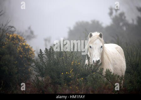Wild Carneddau Mountain Ponies accustomed to the damp foggy conditions in the foothills of wales near to the village - Stock Photo