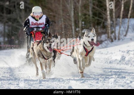 Todtmoos, Baden-Wuerttemberg, Germany - January 28, 2017: International dog sled race at Todtmoos / Black forest. - Stock Photo