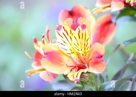 Yellow Pink Red Orange Peruvian Lilies in bloom. - Stock Photo