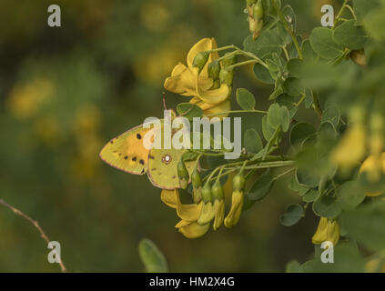 Clouded yellow, Colias croceus visiting Bladder senna flowers, Greece. - Stock Photo