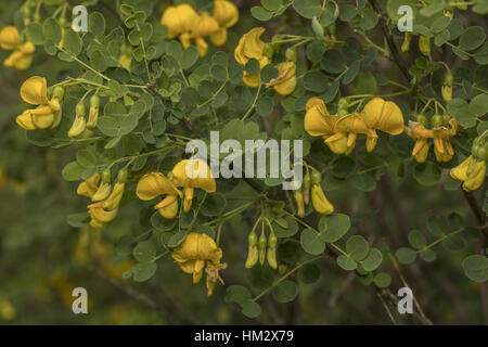 Bladder Senna, Colutea arborescens in flower; north Greece. - Stock Photo