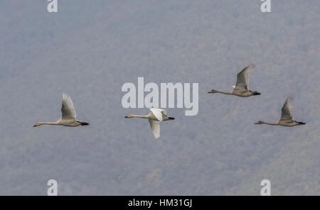 Family group of Bewick's swan,  Cygnus columbianus, in flight on migration at Lake Kerkini, Greece, - Stock Photo