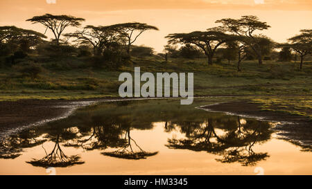 Sunset over acacia umbrella trees in Serengeti national park in Tanzania, Africa - Stock Photo