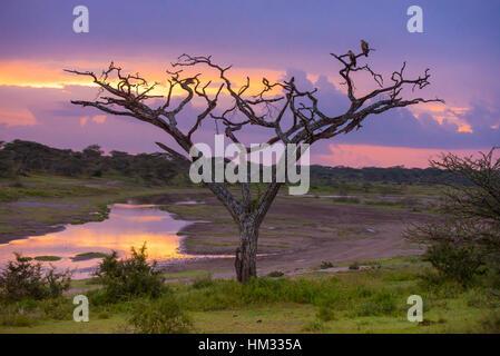 Sunset behind acacia tree in Serengeti National Park in Tanzania, Africa - Stock Photo