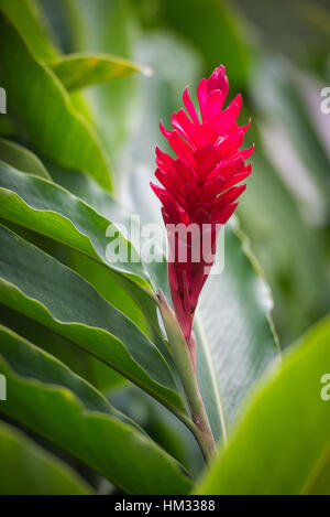 Natural tropical red ginger plant back-lit on green leafy background - Stock Photo