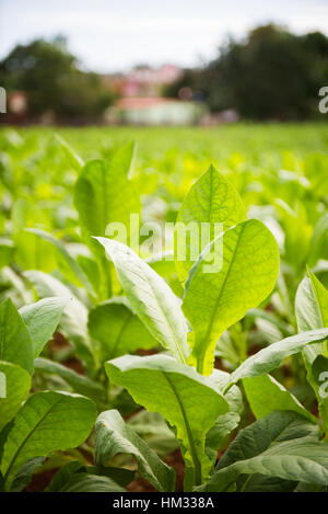 Healthy green tobacco growing on farm in Vinales, Cuba - Stock Photo