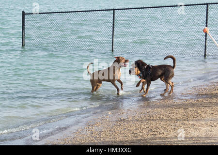 Bulldog and German shepherd mutts confronting an exuberant pit bull mix, with a slap and a growl, as he waits to - Stock Photo